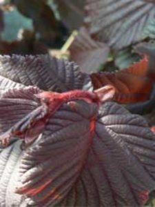 Corylus avellana 'Fuscorubra' / Rotblättrige Zellernuss