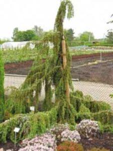 Juniperus communis 'Oblonga Pendula' / Kaukasischer Hänge-Wacholder - wird nicht von Birnengitterrost befallen