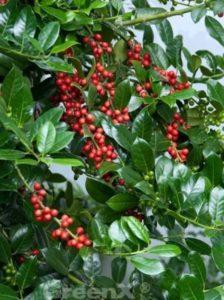 Ilex aquifolium 'J. C. van Tol' / Stechpalme - bildet viele der hellroten Früchte aus
