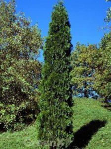 Calocedrus decurrens 'Pillar' / Weihrauchzeder 'Pillar' - kann bis zu 800cm hoch werden
