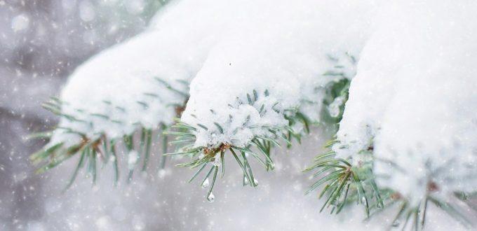 Schneelast kann bei immergrünen Gehölze zum Abbrechen von Ästen und Trieben führen
