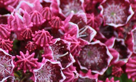 Kalmia / Bergloorbeer - wie hier die Sorte Kaleidoscope - eignen sich als Kübelpflanzen für den Balkon