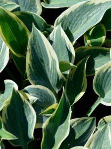Hosta x cultorum 'First Frost' / Goldrand-Funkie 'First Frost' - eignet sich gut als Unterpflanzung für Eiben