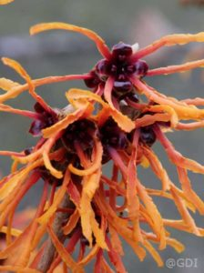 Hamamelis intermedia 'Jelena' / Zaubernuss 'Jelena' - große Blüten und tolle Laubfärbung bieten prächtiges Farbenspiel