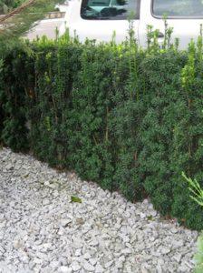 Taxus baccata 'Fastigiata' / Säulen-Eibe - ideal für schmale Hecken