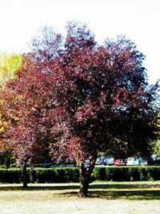 Prunus serrulata 'Royal Burgundy' / Rotblättrige Nelken-Kirsche 'Royal Burgundy' - ausreichend Nährstoffe sind für Wachstum wichtig