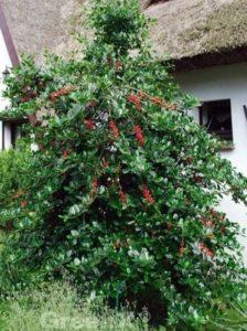 Ilex aquifolium 'J. C. van Tol' / Stechpalme - gut als Vogelnährgehölz geeignet