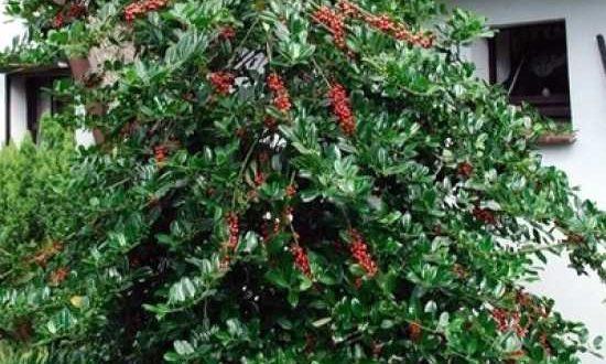 Ilex aquifolium 'J. C. van Tol' / Stechpalme 80-100 cm Ballierung - gut als Vogelnährgehölz geeignet
