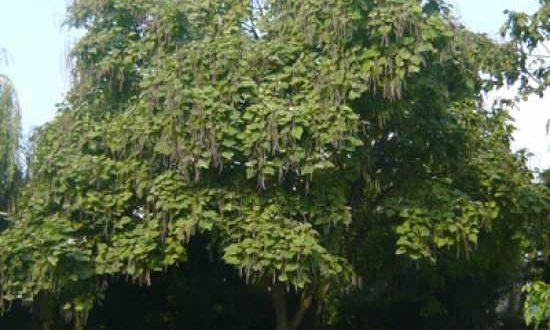 Paulownia tomentosa / Blauglockenbaum / Paulownie - sehr schnittveträgliches Laubgehölz