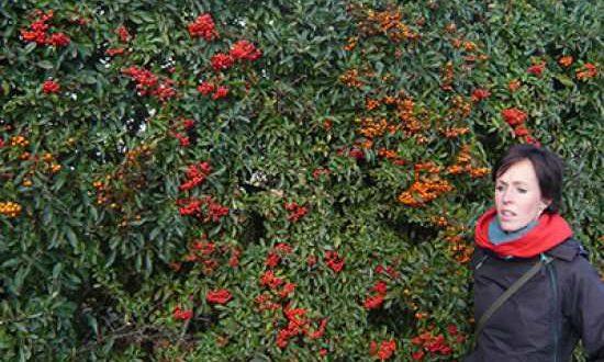 Feuerdorn / Pyracantha - hier die Sorte Red Column - gehört zu den trockenheitsverträglichen Heckenpflanzen