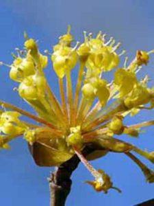 Bienenfreundlicher Strauch / Baum gesucht, der schnittverträglich und unempfindlich ist