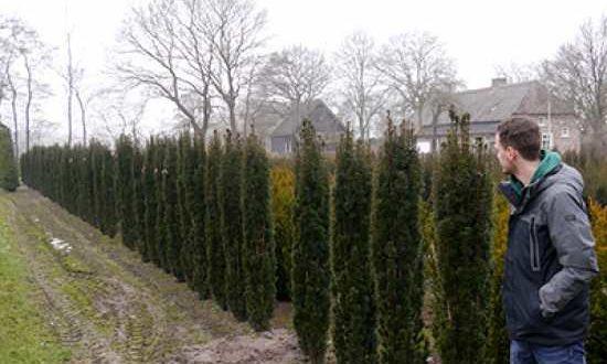 Taxus baccata 'Fastigiata Robusta' / Säulen-Eibe ist die weibliche Form und trägt bildet rote Früchte aus
