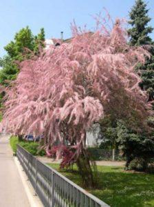 Tamarix parviflora / Frühlings-Tamariske