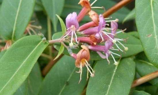 Lonicera henryi / Immergrünes Geißblatt - immergrüne Kletterpflanze