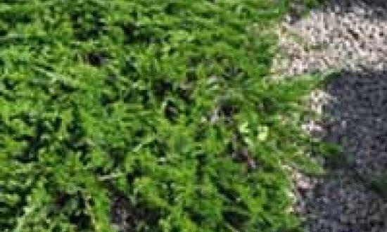 Juniperus sabina 'Tamariscifolia' / Tamarisken-Wacholder