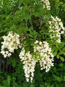 Robinia pseudoacacia / Robinie / Scheinakazie / Locust - frosthart und gut hitzeverträglich