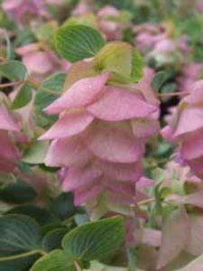 Origanum rotundifolium 'Kent Beauty' / Garten-Dost / Hopfen-Dost - gut als Beeteinfassung geeignet
