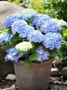 Hydrangea macrophylla 'Endless Summer ®' blau / Bauern-Hortensie 'Endless Summer' blau