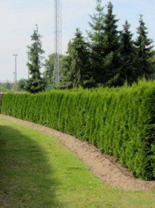 Thuja - wie hier die Sorte Smaragd - kann man gut von Mitte September bis Mitte / Ende Mai pflanzen