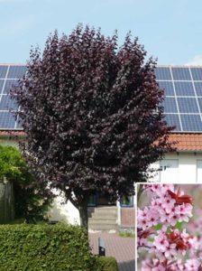 Prunus cerasifera 'Nigra' / Blut-Pflaume - stellt keine besonderen Ansprüche an den Boden