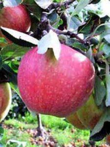 Malus domestica 'James Grieve' / Apfel 'James Grieve' - als Befruchter für den Elstar geeignet