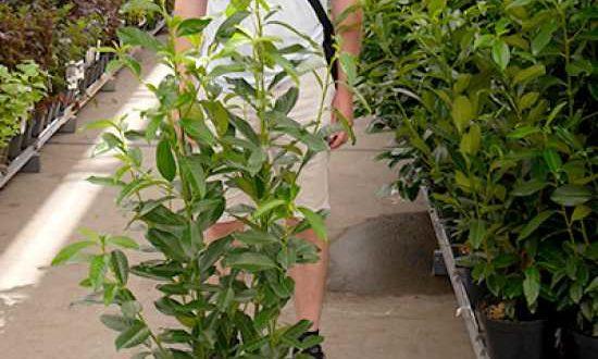 Prunus laurocerasus 'Genolia' / Kirschlorbeer 'Genolia' hat einen schönen, schmal-kompakten Wuchs
