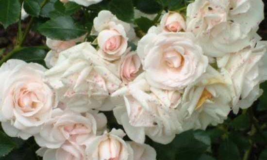 Rosen, wie die Rosa 'Aspirin Rose ®' / Beetrose 'Aspirin Rose', können jetzt zurückgeschnitten werden
