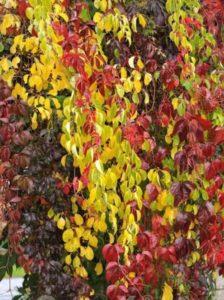 Celastrus orbiculatus / Rundblättriger Baumwürger - eine Kletterpflanze mit toller Herbstfärbung