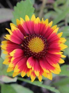 Kokardenblumen - wunderbare Schnittstauden