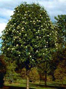 Sorbus aucuparia 'Sheerwater Seedling' / Eberesche 'Sheerwater Seedling'