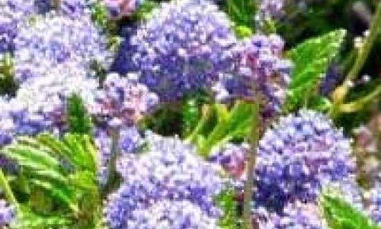 Ceanothus 'Blue Mound' / Säckelblume 'Blue Mound' - wächst am besten an einem geschützten, sonigen Standort