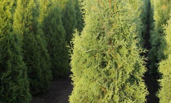 Düngeempfehlung für den Thuja occidentalis 'Columna' / Säulen-Lebensbaum