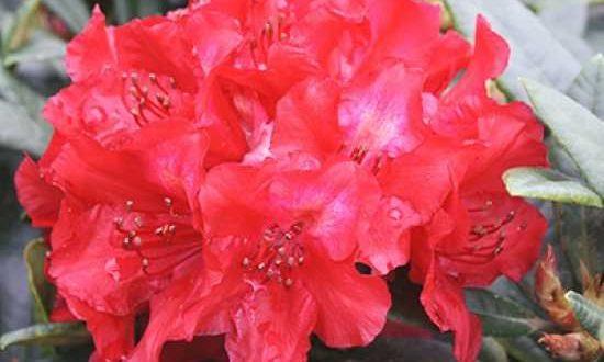 Rhododendron haematodes 'Sardana' / Rhododendron 'Sardana'