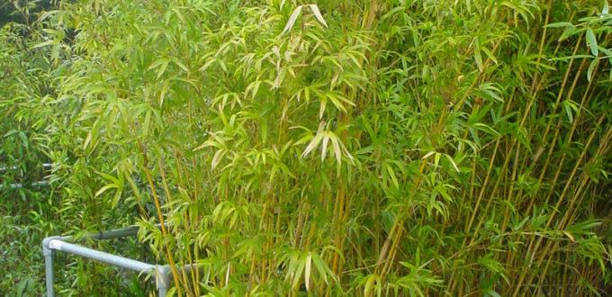 Bambus Phyllostachys aureosulcata 'Spectabilis'