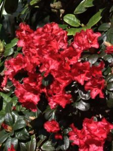 Rhododendron repens 'Abendrot' / Rhododendron 'Abendrot'