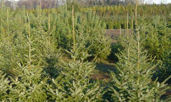 Picea omorika / Serbische Fichte - ungiftig und auch für schmale Hecken geeignet
