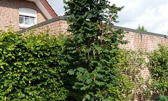 Sorbus aucuparia 'Fastigiata' / Säulen-Eberesche - eignet sich gut als Hausbaum