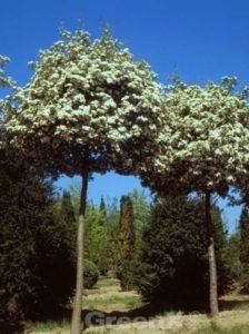 Crataegus monogyna / Eingriffliger Weißdorn - verträgt Trockenzeiten sehr gut
