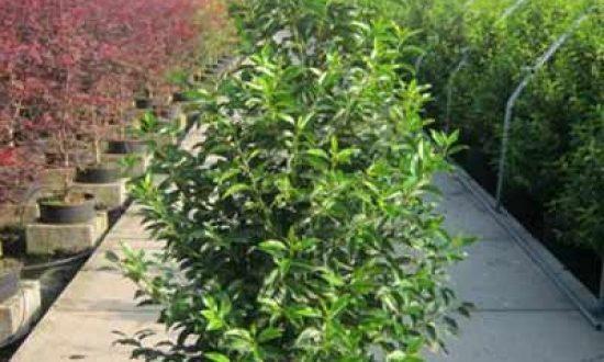 Prunus lusitanica 'Angustifolia' / Portugiesischer Kirschlorbeer / Kirschlorbeer 'Angustifolia' - bleibt eher schmal und ist auch für den Kübel geeignet