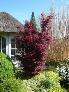: Acer palmatum 'Skeeter's Broom' / Fächer-Ahorn 'Skeeter's Broom'