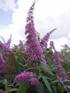 Buddleja davidii 'Pink Delight' / Sommerflieder 'Pink Delight' / Schmetterlingsstrauch 'Pink Delight' - gut für Jahreszeitenhecken geeignet