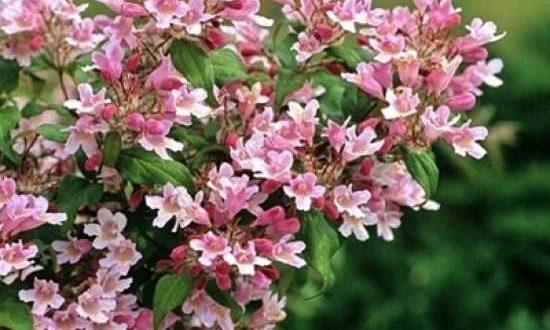 Kolkwitzia amabilis 'Pink Cloud' / Kolkwitzie 'Pink Cloud' / Perlmuttstrauch 'Pink Cloud' -