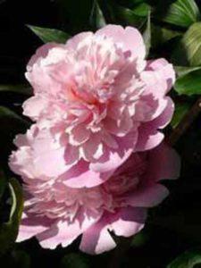 Paeonia lactiflora 'Sarah Bernhardt' / Edelpfingstrose