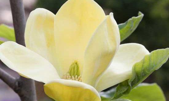 Magnolia brooklynensis 'Yellow Bird' / Magnolie 'Yellow Bird' - auch für eine Magnolienhecke geeignet