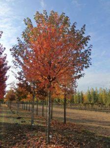 Acer cappadocicum 'Rubrum' / Kolchischer Blut-Ahorn