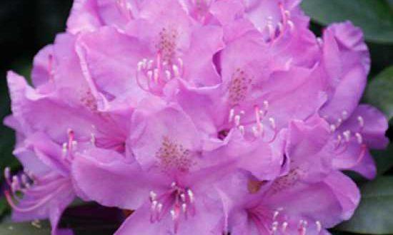 Rhododendron Hybride 'INKARHO Catawbiense Boursault' / Rhododendron 'INKARHO Catawbiense Boursault' - sehr tolerant bezüglich der Bodenverhältnisse