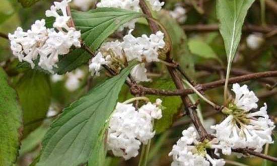 Winterblüher - wie hier der Viburnum farreri / Duftende Schneeball - gehören in jede Jahreszeitenhecke