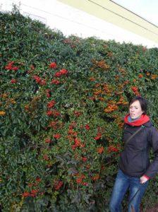 Pyracantha 'Red Column' / Feuerdorn 'Red Column' gehört zu den insektenfreundlichen Heckenpflanzen