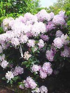 Rhododendron - wie hier bspw. der Rhododendron Hybride 'Album Novum' / Rhododendron 'Album Novum' - benötigen viele Nährstoffe und am besten spezielle Erde