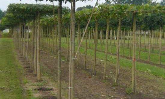Quercus palustris / Sumpf-Eiche in Dachform / Dachspalier - regelmäßiger Rückschnitt erhält die Dachform